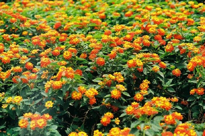 Công dụng chữa bách bệnh từ cây hoa ngũ sắc